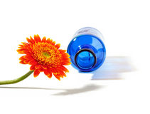 Orange gerbera with blue vase on white background Royalty Free Stock Photos