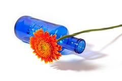 Orange gerbera with blue vase on white background Royalty Free Stock Images