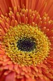 Orange Gerbera close-up Royalty Free Stock Images