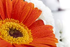 Orange gerbera closeup on flower petals with water drops. Orange flower petals on macro and white background Stock Photos