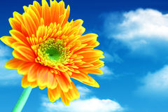 Orange gerbera closeup on sky background. (Clipping Path) Stock Photos