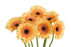 Orange gerbera daisies Stock Photo