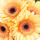 Orange gerbera daisies Royalty Free Stock Images