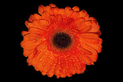Orange gerbera daisies with black background Royalty Free Stock Photo