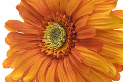 Orange Gerbera Daisy Royalty Free Stock Images