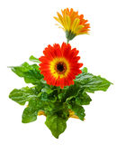Orange Gerbera Daisy Royalty Free Stock Photography