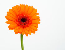 Orange Gerbera daisy Stock Images