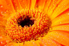 Orange gerbera daisy Stock Photography