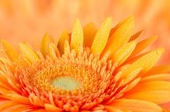 Orange gerbera daisy Stock Photo