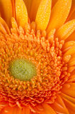 Orange gerbera daisy Stock Image