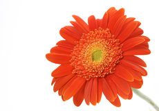 Orange gerbera  daisy. On white background Stock Photo