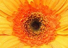 Orange Gerbera Daisy Royalty Free Stock Photos