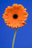 Orange Gerbera Daisy Royalty Free Stock Image