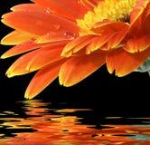 Orange gerbera daisy on the black background. With reflection Stock Image
