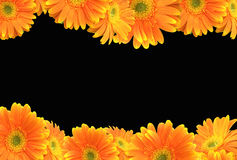 Orange Gerbera Daisy on Black Background Royalty Free Stock Image