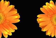 Orange Gerbera Daisy on Black Background Royalty Free Stock Photography