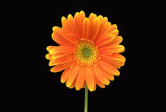 Orange Gerbera Daisy on Black Background Stock Photos