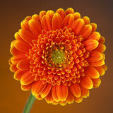 Orange gerbera daisy with dew drops Stock Photo