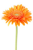 Orange gerbera daisy flower Royalty Free Stock Images