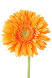 Orange gerbera daisy flower Royalty Free Stock Photography