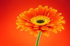 Orange gerbera daisy flower Stock Images