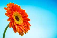 Orange gerbera daisy flower isolated on blue background Royalty Free Stock Photo