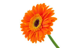 Orange Gerbera Daisy. Flower isolated on a white background royalty free stock images
