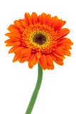 Orange Gerbera Daisy Flower Stock Photos