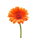 Orange gerbera daisy flower isolated on a white background. Orange gerbera flower isolated on a white background Stock Image