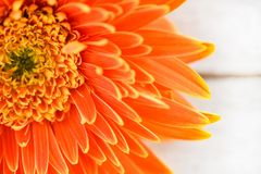 Orange gerbera daisy flower spring summer blooming beautiful composition on white wooden background stock photo