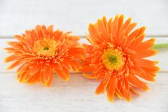Orange gerbera daisy flower spring summer blooming beautiful stock images