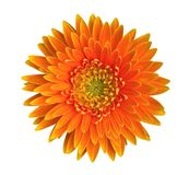 Orange Gerbera Daisy Flower Top View Isolated On White Background, Path