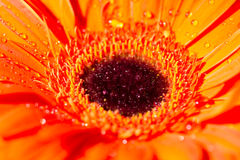 Orange gerbera daisy flower with water drops Royalty Free Stock Image