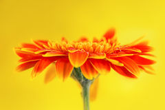 Orange gerbera daisy flower on yellow background Stock Photo
