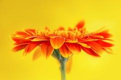 Orange gerbera daisy flower on yellow background. Orange gerbera daisy flower on a yellow background Stock Photo