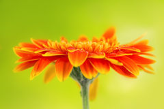 Orange gerbera daisy flower on yellow background Royalty Free Stock Images