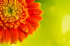Orange gerbera daisy flower on yellow background Stock Photos