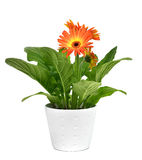 Orange gerbera daisy plant. Closeup of an orange gerbera daisy plant in a white ceramic plant pot, on a white background stock image