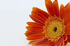 Orange gerbera daisy (transvaal) flower closeup. Stock Image