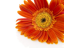 Orange gerbera daisy (transvaal) flower closeup. Stock Images
