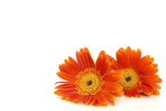 Orange gerbera daisy (transvaal) flowers closeup. Stock Photography