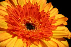 Orange gerbera. On a dark background Stock Photography