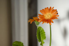 Orange Gerbera. Decorative Orange Gerbera and leaf Stock Photo