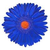 Orange Gerbera för inomhus blommablått som isoleras på vit bakgrund Närbild Makro element för klockajuldesign arkivbild