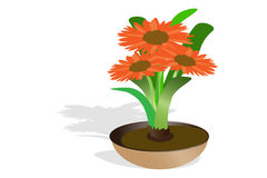 Orange gerbera flowe Royalty Free Stock Photo