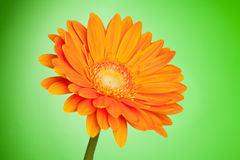 Orange gerbera flower Royalty Free Stock Images