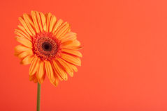 Orange gerbera flower Royalty Free Stock Photos