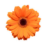 Orange gerbera flower Stock Photos