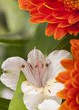 Orange gerbera flower against green blurred Royalty Free Stock Photography