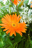 Orange gerbera flower agaisnt  blurred background Stock Photos